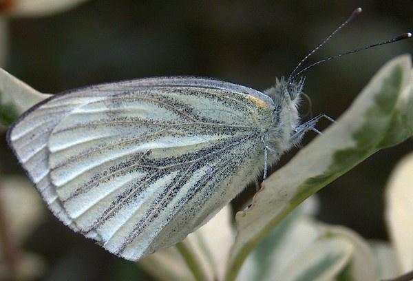 white butterfly by alianar