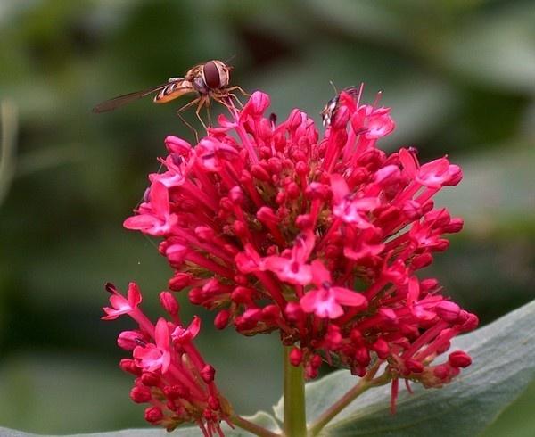 hoverfly eating nectar by alianar