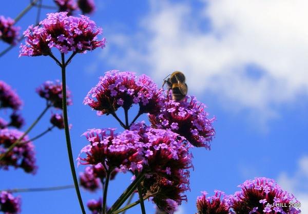 Bee on Purple by block119er