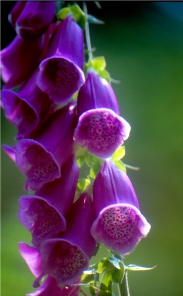 Foxgloves by Mark Woods. by mwoods