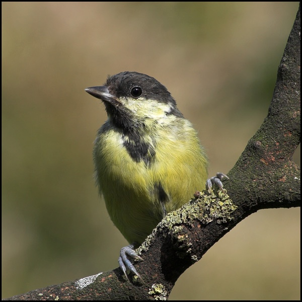 Another Great Tit by fossilized