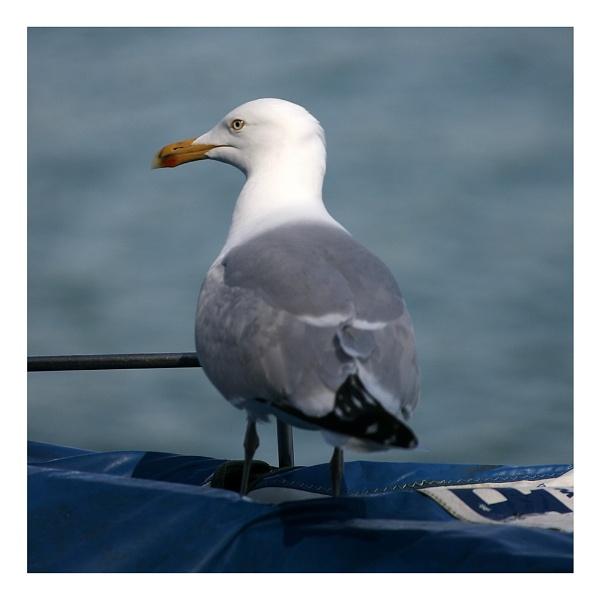 Gull by sidaorb