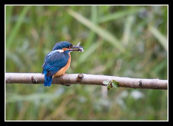 Kingfisher brandon by BobbyP