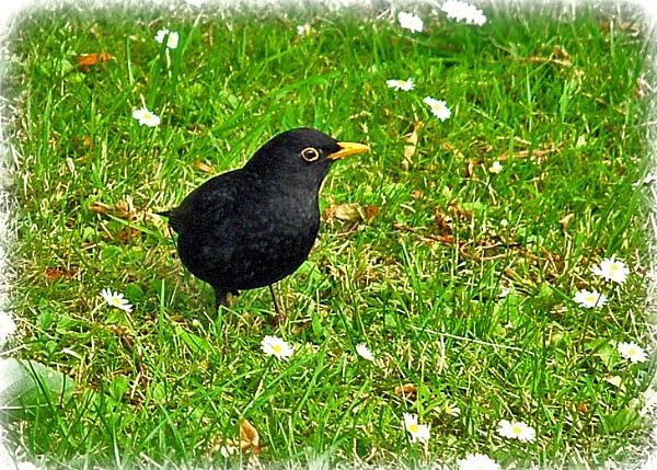Just A Blackbird by trissie