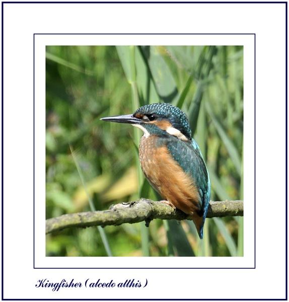Kingfisher by Maiwand