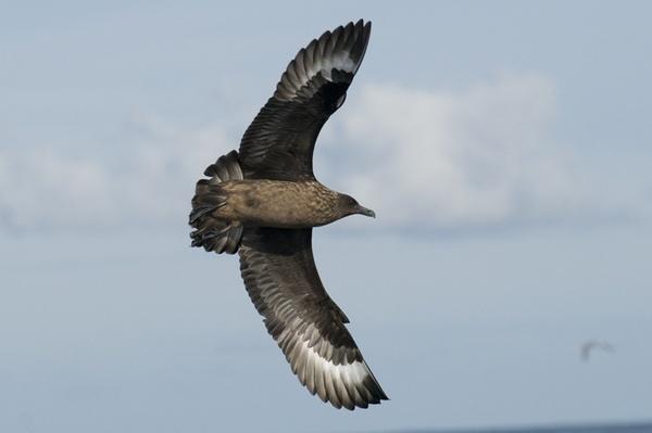 Great skua fly by by grandalf