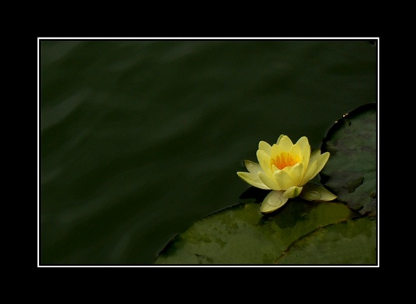Water lilly by MASone