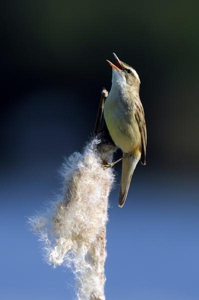 Sedge Warbler by rangerpaul