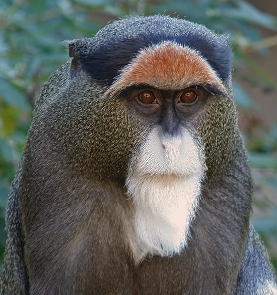 Guenon monkey by amato