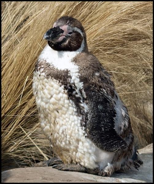 Baby Penguin. by Adam_H
