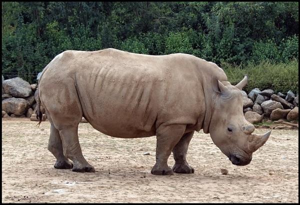 Rhino by Adam_H