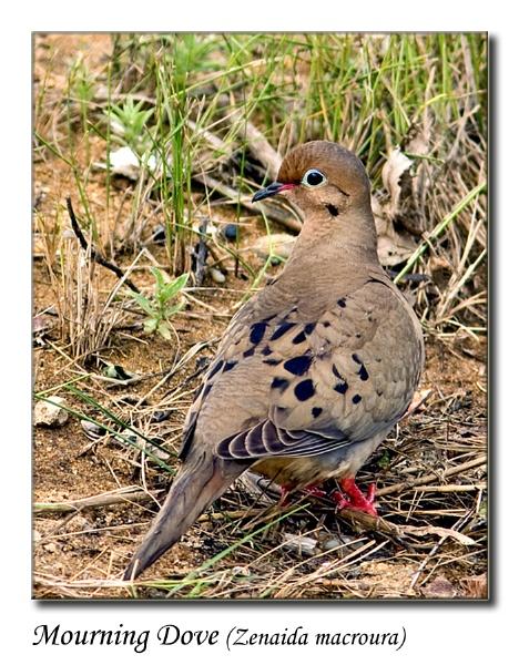Mourning Dove (Zenaida macroura) by teocali