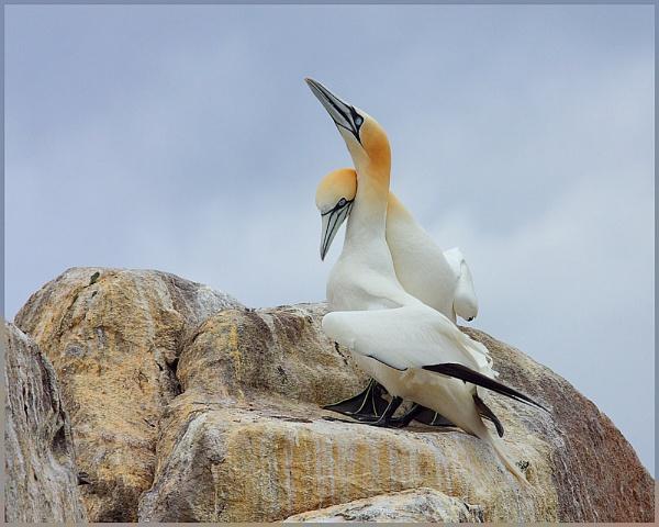 Gannets by Tom-Melton