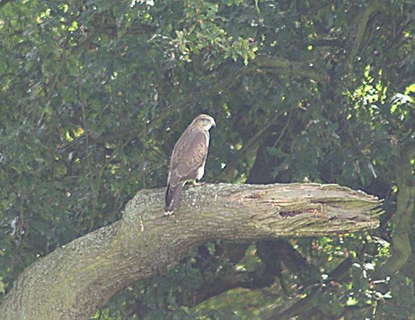Buzzard in a Tree 2 by SiSheff
