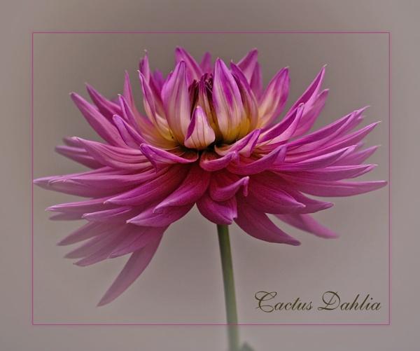Cactus Dahlia by sable