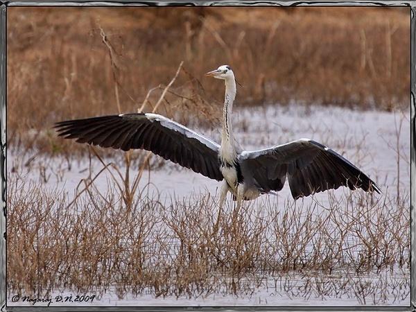 Landing of the Grey Heron by nasoteya