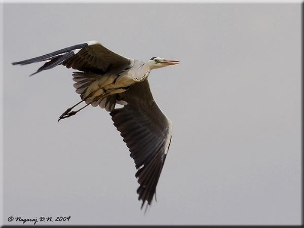 "\""Grey Heron in Flight\"" by nasoteya"