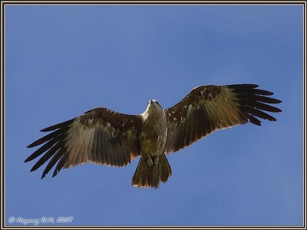 "\""Brahminy Kite-Juvenile\"" \""In Flight\"" by nasoteya"