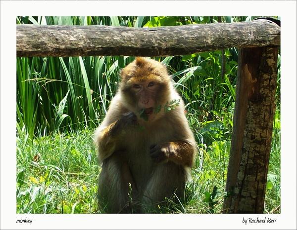 monkey by rachaelk
