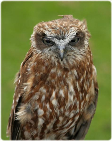 Boobook Owl (Betty) by ChristineLaw