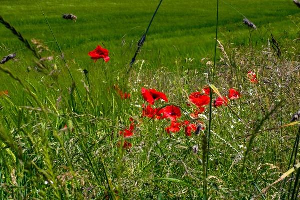 Poppies by HuntedDragon