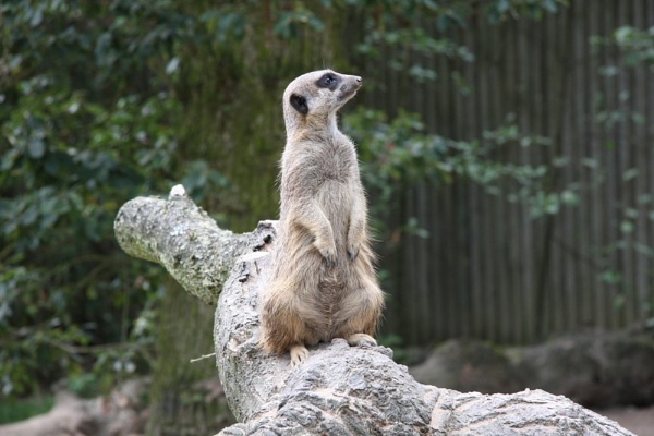 Meerkat by chris_c1