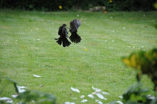 Blackbird Dispute by BobFancy