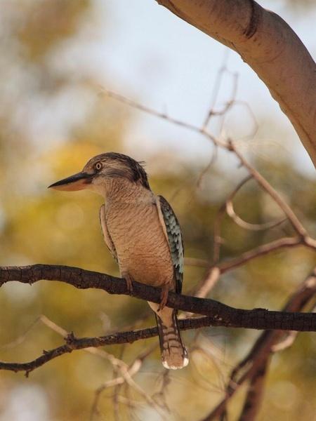 Blue Winged Kookaburra by LPatter