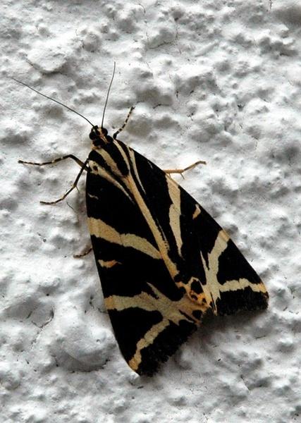moth on wall by darrennmel