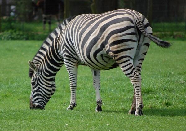 A Zebra Grazing by ianjames224