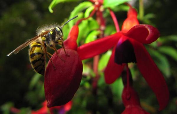 wasp on a fuschia - Stourhead Gardens by Davlaw