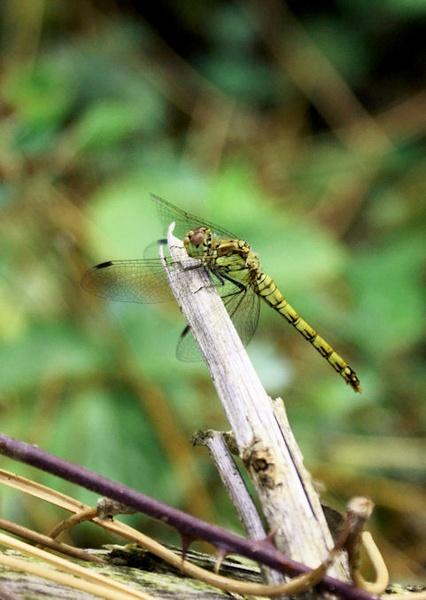 Southern Hawker Dragonfly (I think) by Davlaw
