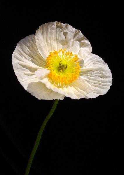 Poppy Day by doolittle