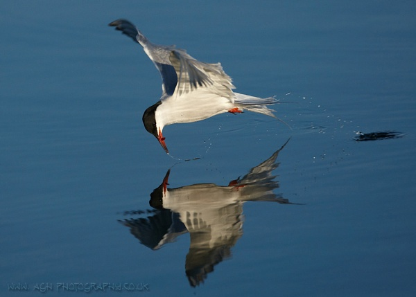 Common Tern by albi