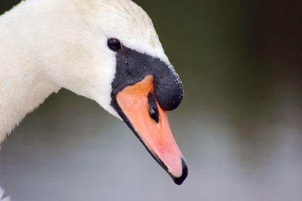 Swan 2 by Just_Liz