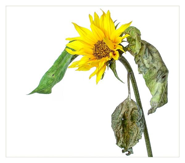 Sunflower by cattyal