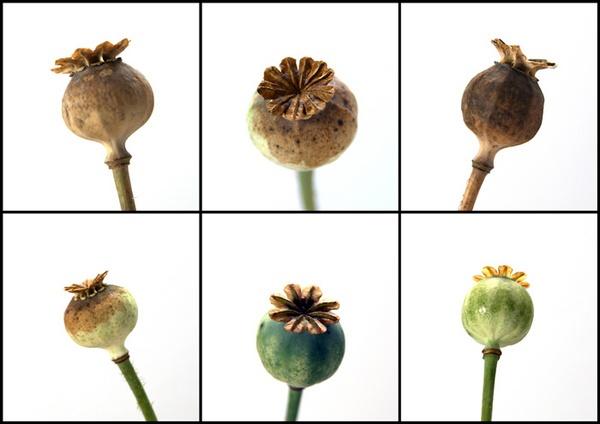 Poppy Heads by Beta1