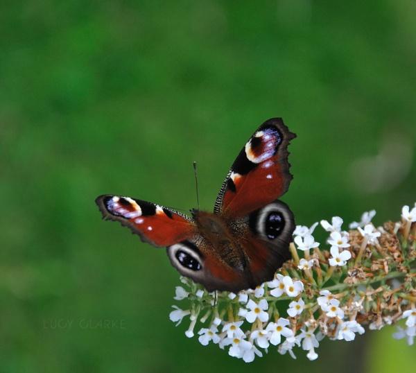 Butterfly by LucyJClarke