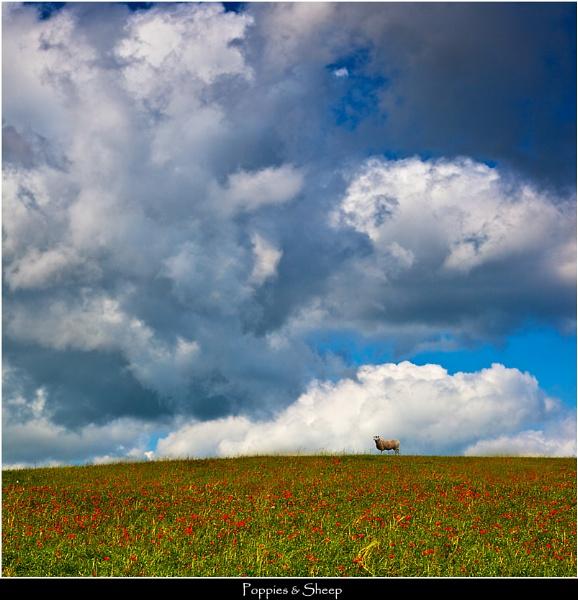Sheep & Poppies by Kris_Dutson