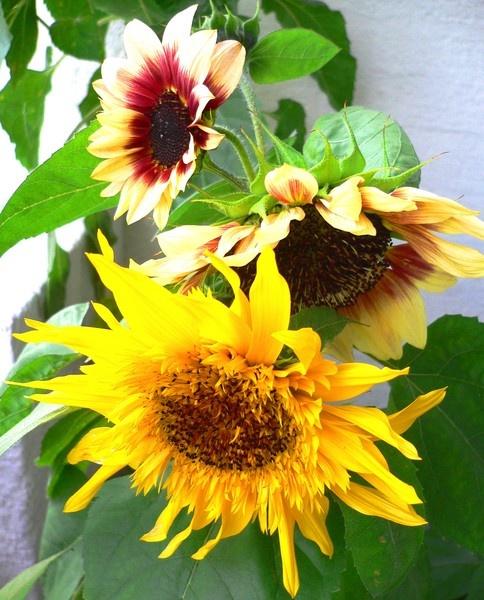 My sunflowers by J_O