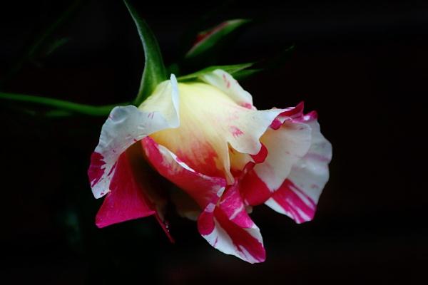 Barbara Bush Rose by dawnmichelle