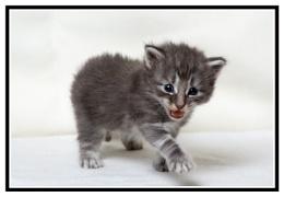 NFC Kitten