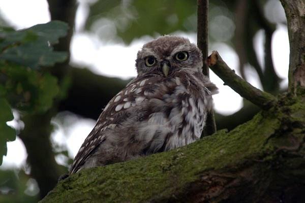 Little Owl by betts