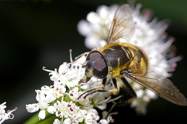 hoverfly by DanielDCP