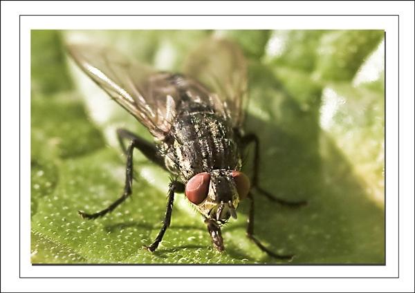 Flesh Fly by Dinney