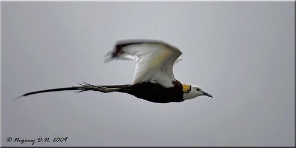 Phesant Tailed Jacana in Flight by nasoteya