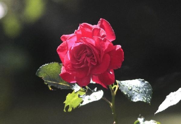 Garden Rose by ukdrifter