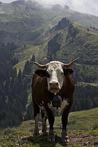 Alpine cow by BangBang