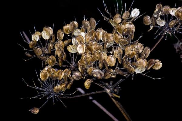 seed padge by HuntedDragon