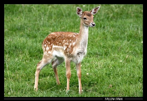 Bambi by SteveMoulding